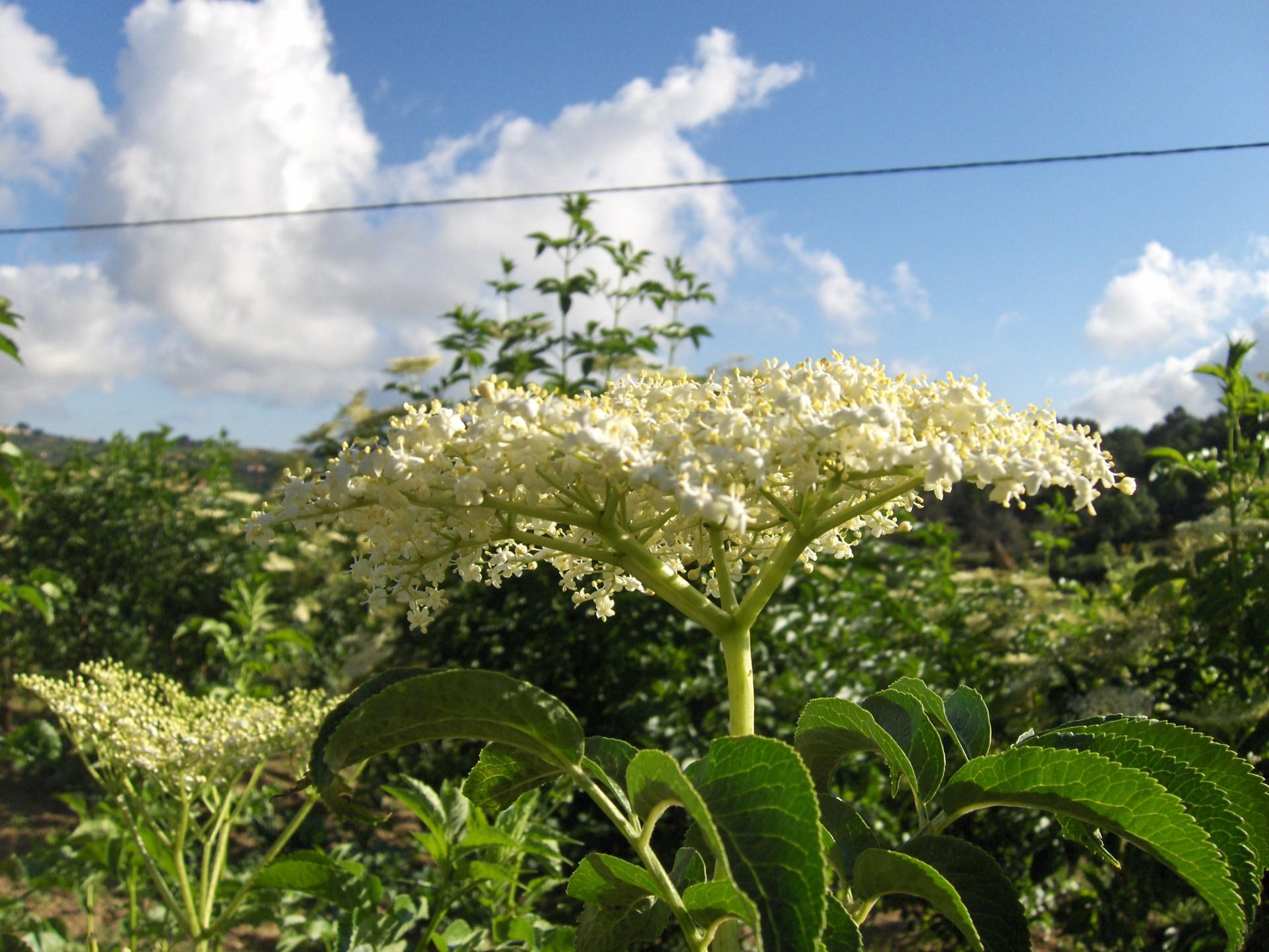Flor sabugueiro